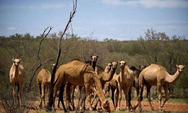 Vriten me snajper mbi 5 mijë deve në Australi