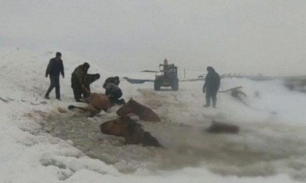 Fermerët shpëtojnë 11 kuaj nga lumi i akullt (VIDEO)