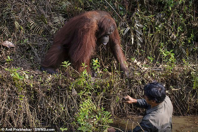 Momenti i rrallë! Majmuni i zgjat dorën për ndihmë burrit që rrezikonte të sulmohej nga gjarpërinjtë (FOTO)