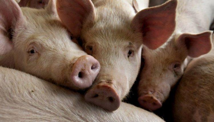 Këto janë 15 arsyet pse myslimanët nuk e hanë mishin e derrit