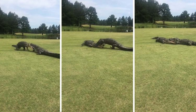 Dylufim të fortë në fushën e golfit mes dy aligatorëve (VIDEO)