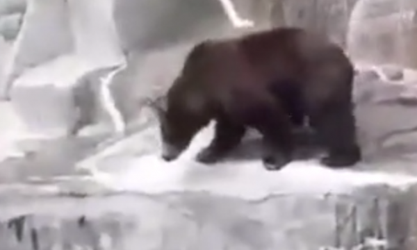 I dehuri hyn në kopshtin zoologjik dhe bën sherr me arushën (VIDEO)
