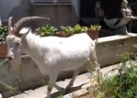 Çudira në Fier: Cjapi bën qumësht dhe lind keca (VIDEO)