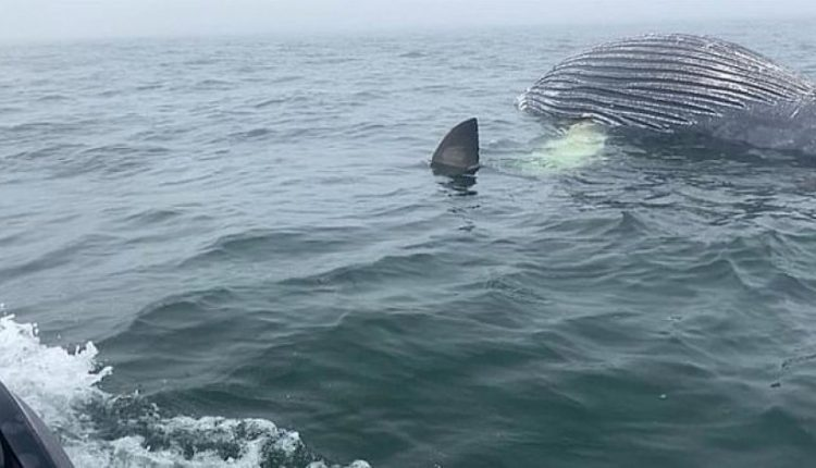 Momenti i frikshëm kur peshkaqeni e gllabëron një balenë 5-metërshe (VIDEO)