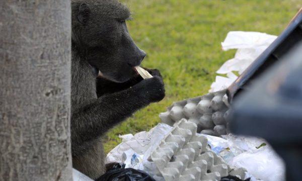 """Arrestohet majmuni pasi """"plaçkiste"""" shtëpitë"""