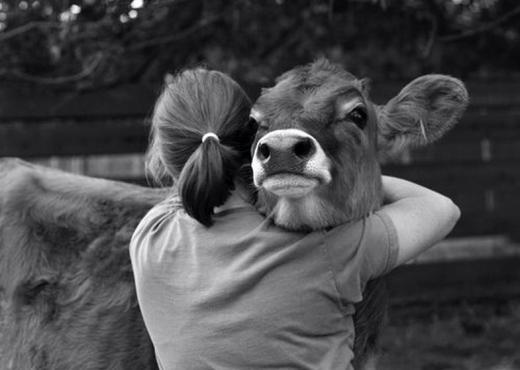 Pse njerëzit e kanë kthyer në trend përqafimin e lopëve
