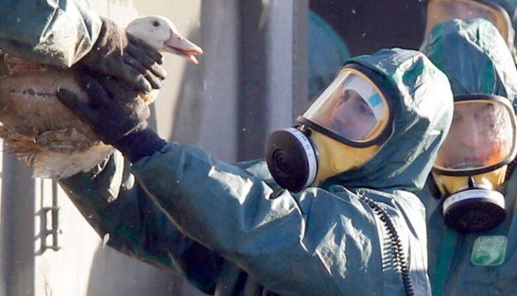 Gripi i shpezëve, Franca asgjësohen rreth dy milion rosa