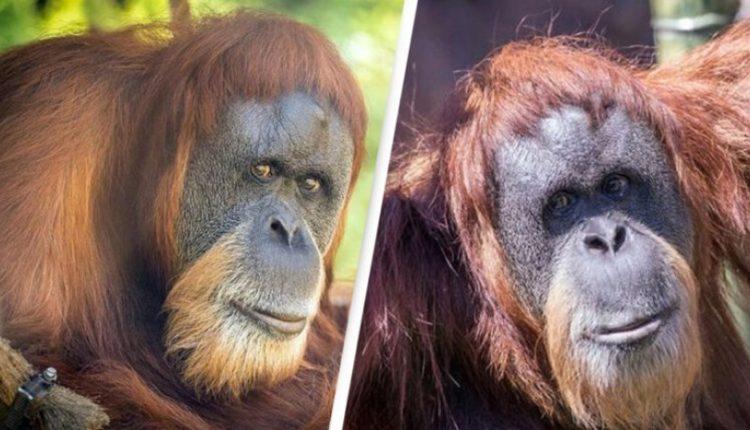 Ngordh në moshë 61-vjeçare, orangutani më i vjetër në botë