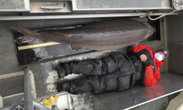 Kapet peshku mbi 100 vjet i vjetër, peshon 108 kilogramë