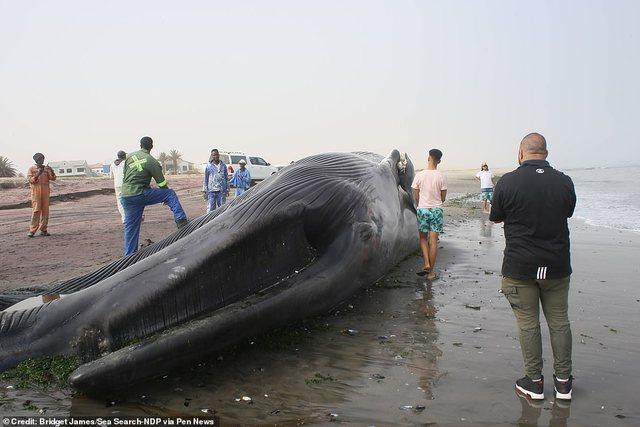 18 metra e gjatë, del në breg balena gjigante (FOTO)