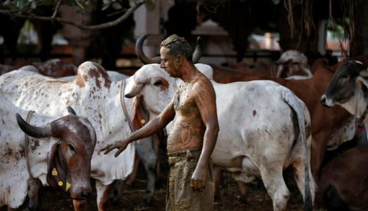 Njerëzit në Indi po i lyejnë trupat me bajgë e urinë lope për ta luftuar koronavirusin (FOTO )