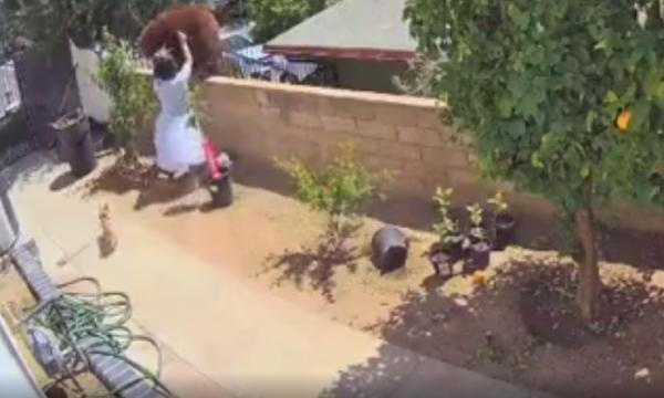 Gruaja i vërsulet ariut pasi i hyri në oborrin e shtëpisë (VIDEO)
