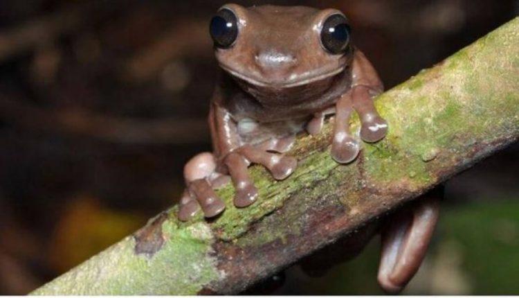 E pazakontë/ Shkencëtarët zbulojnë bretkosën 'çokollatë'