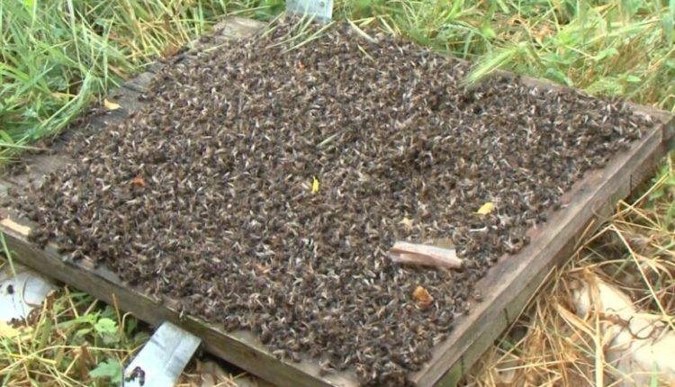 Mijëra bletë të ngordhura si pasojë e helmit që përdoret për të spërkatur pemët