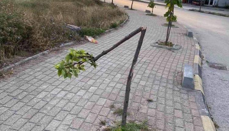 Dëmtohen drunj në Tetovë, pritet zbulimi personave që kanë kryer vandalizimin (FOTO)