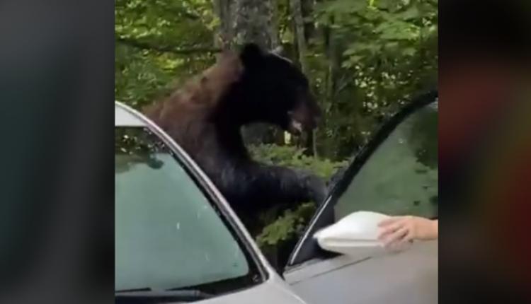 Hapi derën e makinës dhe pa se një ari kishte hyrë brenda (VIDEO)