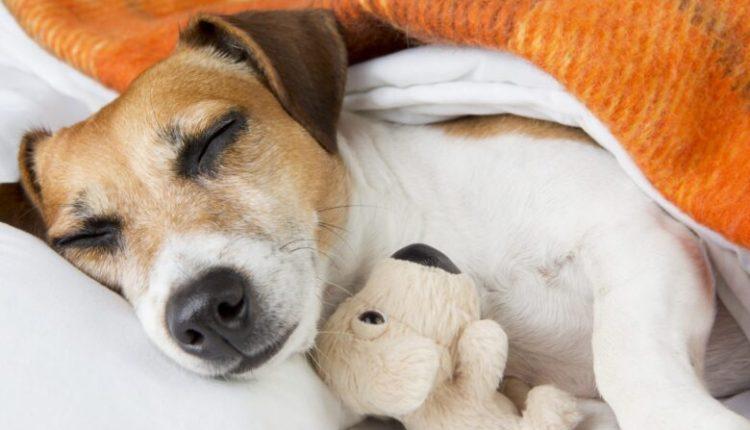 A e keni ditur se qentë ëndërrojnë për njerëzit që duan?!